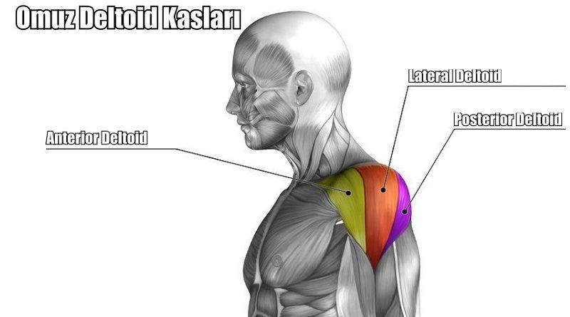 deltoid kasları